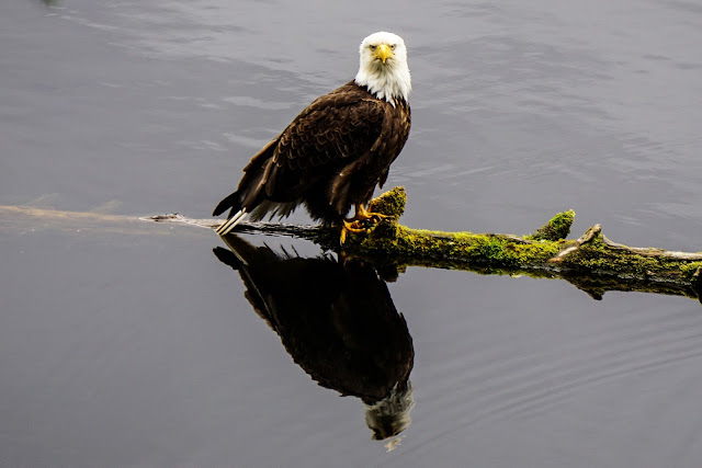 Bald-Eagle-Ketchikan-Alaska