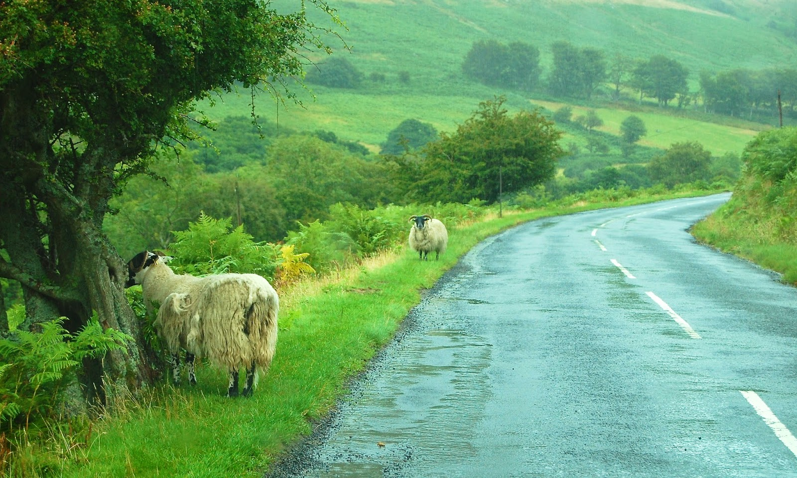 Roadside sheep on the Isle of Arran