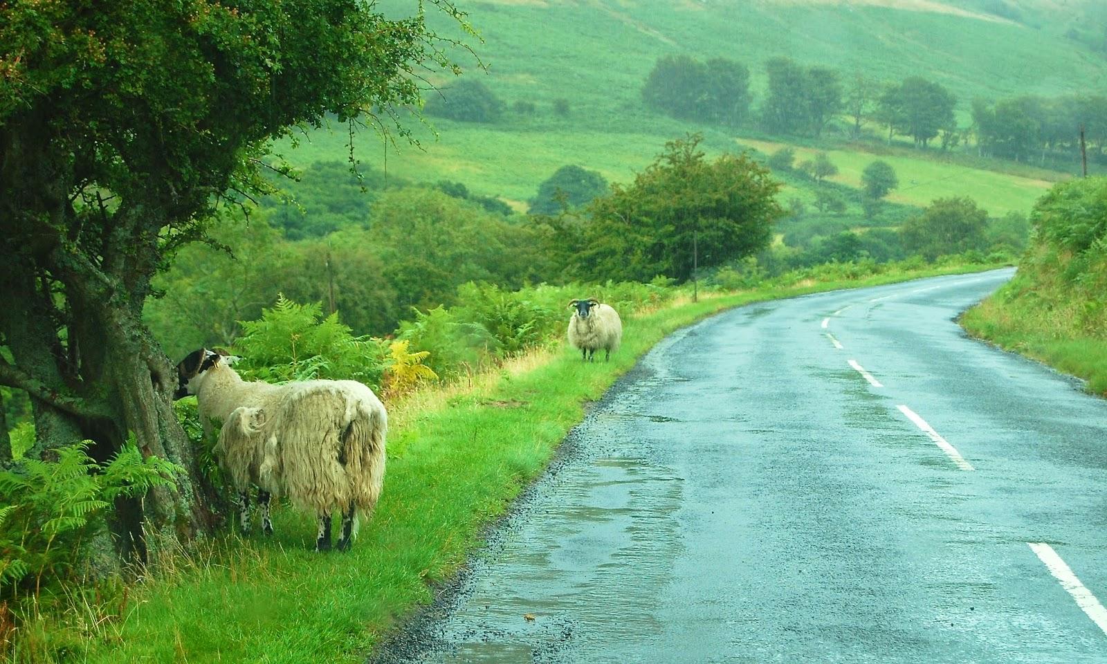 Roadside sheep on the Isle of Arran