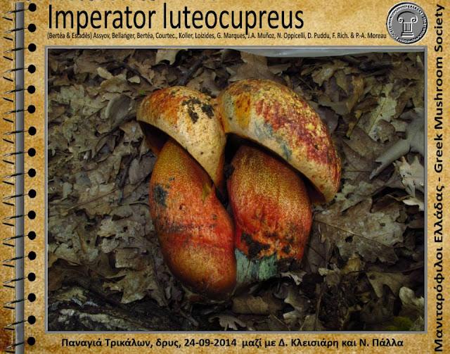 Imperator luteocupreus (Bertéa & Estadès) Assyov, Bellanger, Bertéa, Courtec., Koller, Loizides, G. Marques, J.A. Muñoz, N. Oppicelli, D. Puddu, F. Rich. & P.-A. Moreau