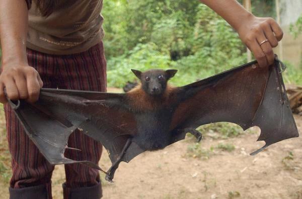 Los contagios de ébola por medio de algunos animales