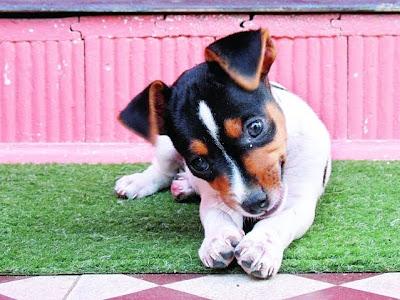 Fotos de cachorros Fox paulistinha