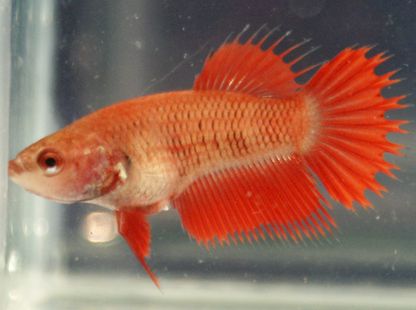 Crowntail plakat female Red Betta fish