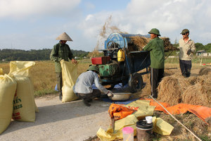 Cô Tô island - Rice threshing