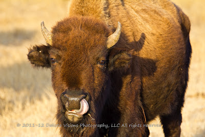 Hilarious Bison Buffalo Calf with Tongue up Nose by Dakota Visions Photography LLC