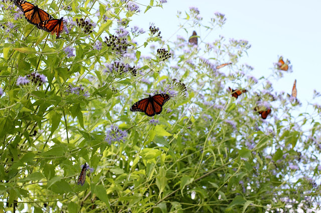 Monarch Butterflies on Blue Mist Flower-Needville, Texas