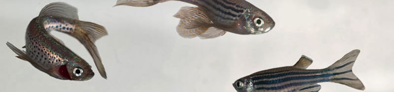 Research Highlight: Using Zebrafish As Models for Toxicology Investigations