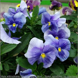 Viola wittrockiana 'Mariposa Light Blue' - Fiołek ogrodowy, bratek