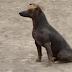 Razas de perros extrañas, razas de perros raras