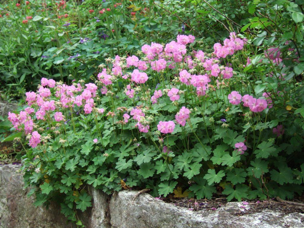 pflanzen resort felsen storchschnabel geranium macrorrhizum. Black Bedroom Furniture Sets. Home Design Ideas