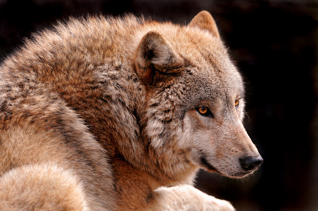 Photograph of a Mongolian Wolf
