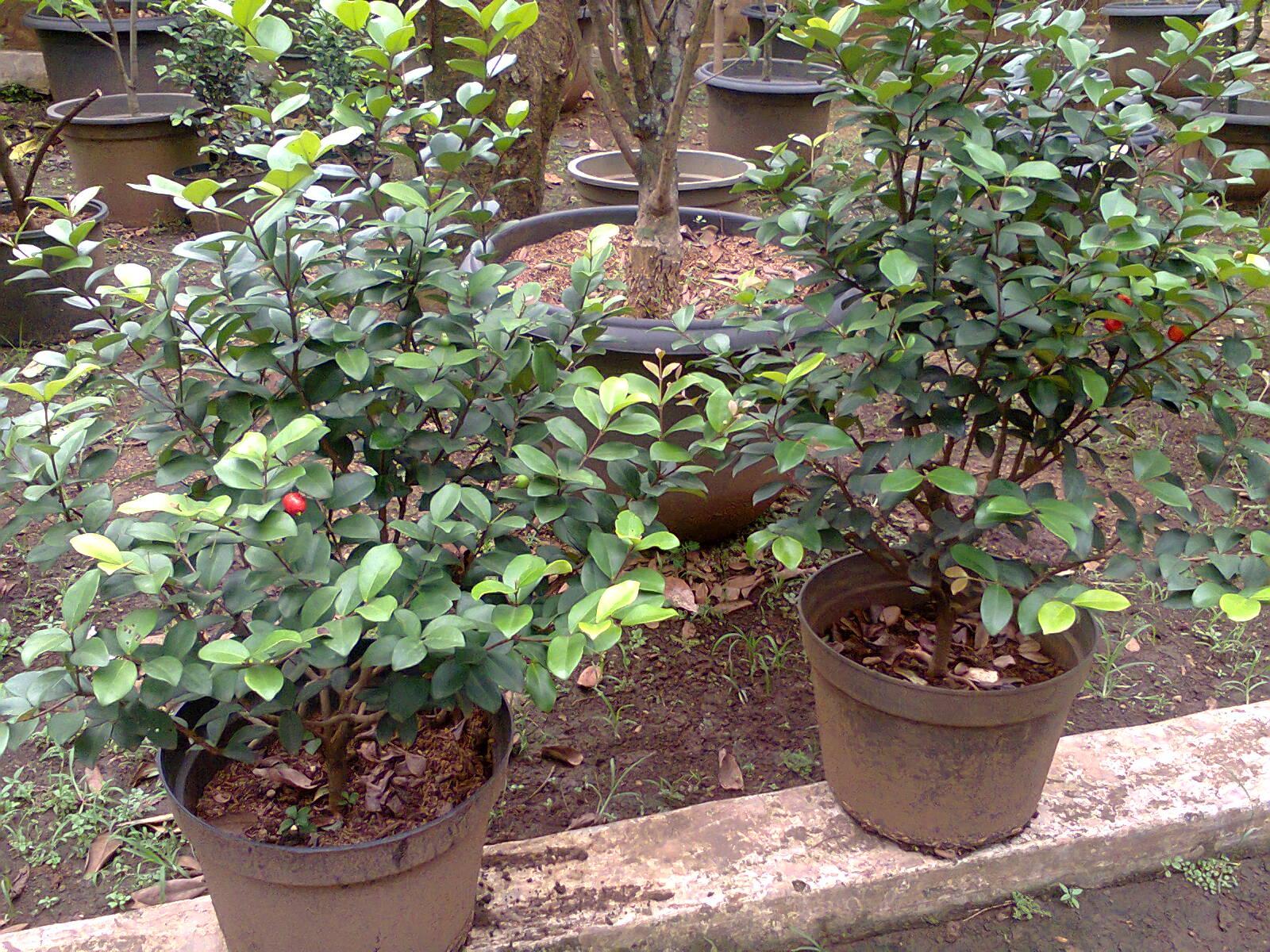 Tanaman buah dalam pot | Barbados chery/ Chery Kebo