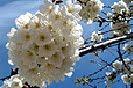 6 Fotografías de las flores del cerezo