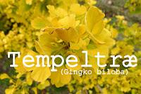 http://kolonihavelivet.blogspot.dk/2015/10/tempeltr-ginkgo-biloba.html