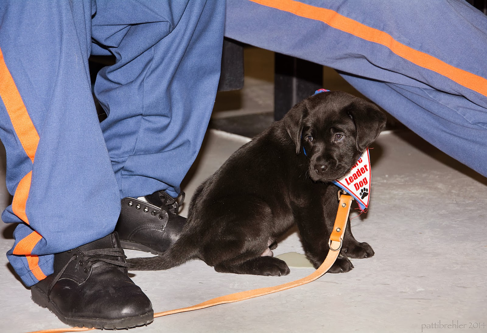 """A close shot at floor level of a small black lab puppy sitting between the feet of his handler. The handler has blue pants with an orange stripon the side and is wearing black shoes. He is stepping on the brown leash of the pup, who is wearing a blue bandana with a white trianble patch with red letters that say Future Leader Dog and a black paw print. The pup is looking over his right shoulder and one could say his expression looks """"guilty."""" Beneath him is a puddle of pee!"""