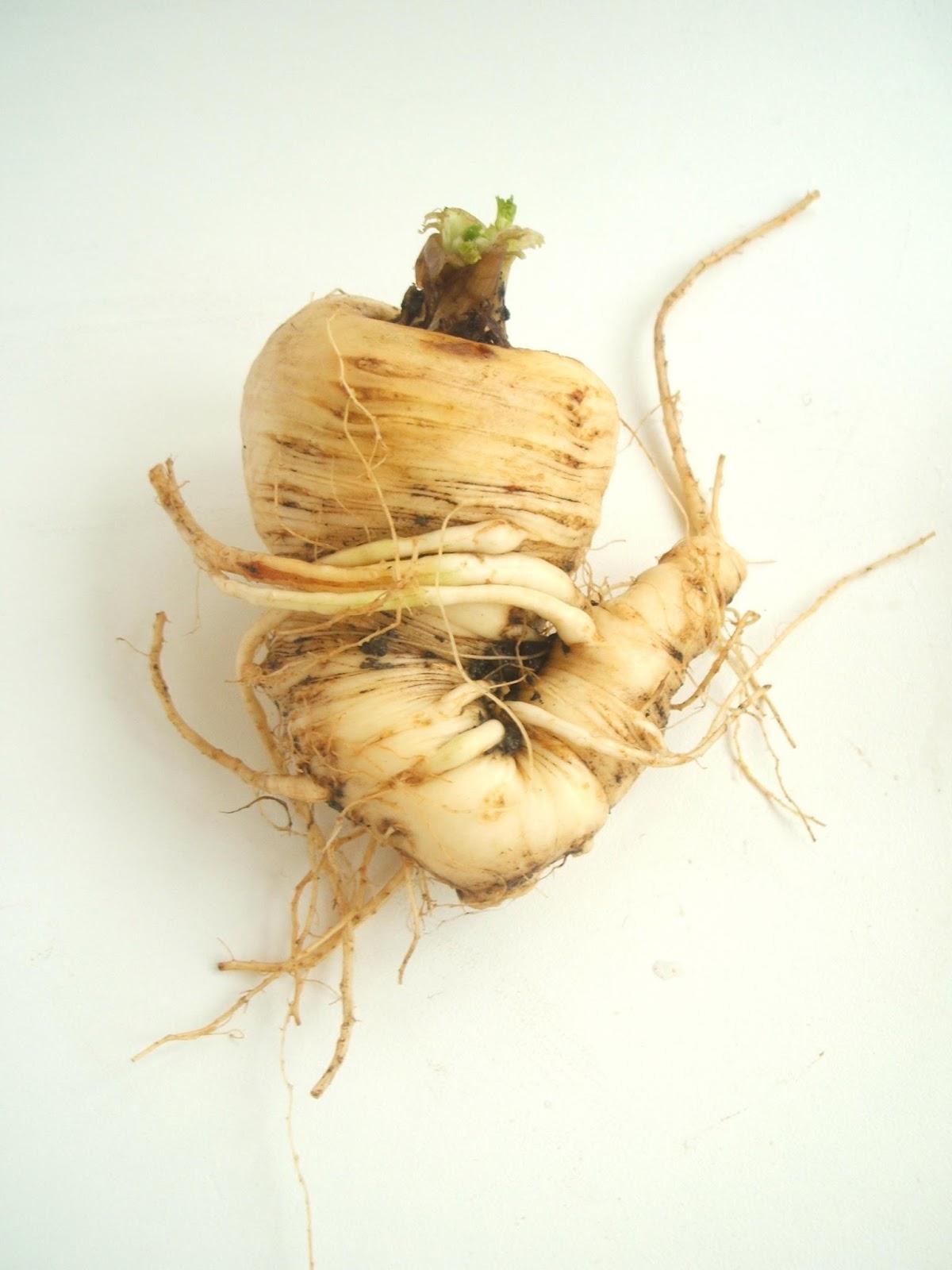 how to grow parsnips uk