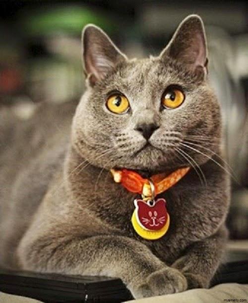 Magnifique Photo chat chartreux gratuit