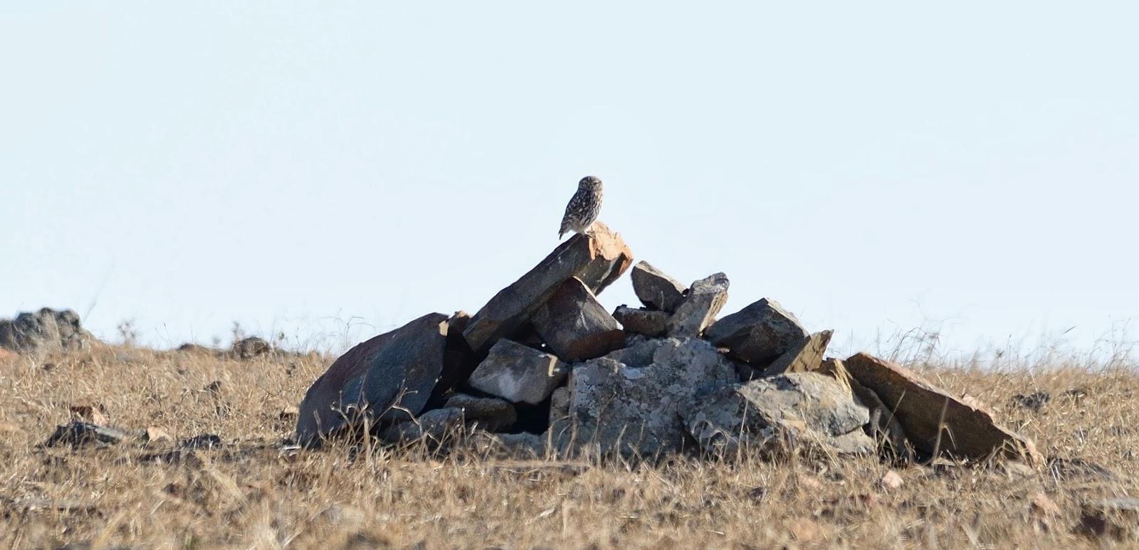 Excursión SEO/BirdLife a ZEPA del Alto Guadiato. Mochuelo