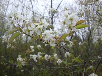 ..  dazzling .. spring blooms, artcards