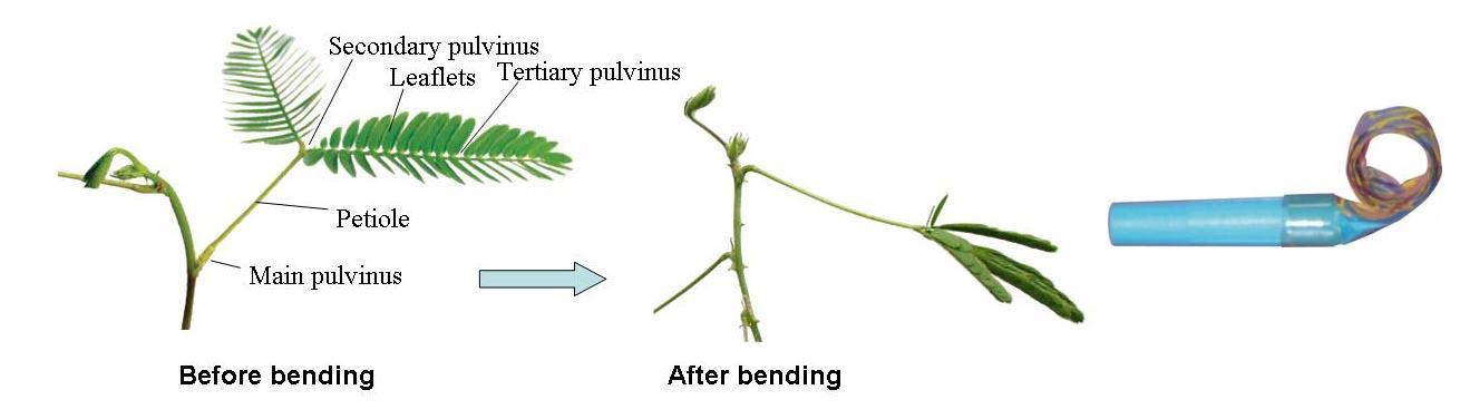 Mimosa pudica la plante sensitive qui se referme au for Bureau qui se referme