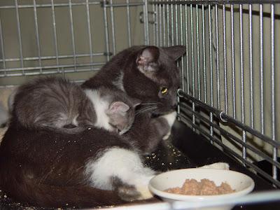 munchkin ragdoll cat