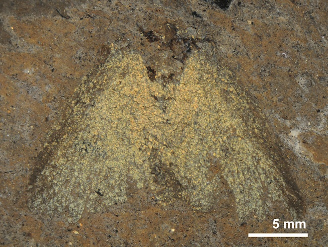 Moth's True Colors Shine After 47 Million Years
