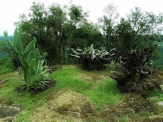 Cactus e vegetação rasteira no Peral de São Paulo, em Galópolis, Caxias do Sul.