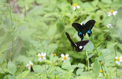 Taiwan Butterflies