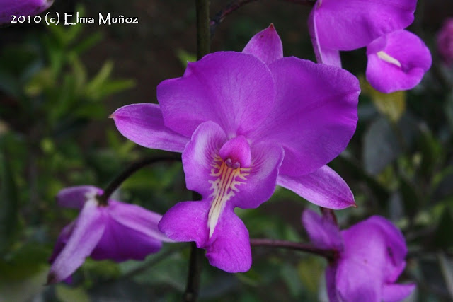Bletia catenulata. Foto de orquídea