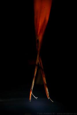 den brinnande ballerinans ben, ballerinans brinnande ben, av eld, burning ballerina legs, of fire, tsyfpl, foto anders n
