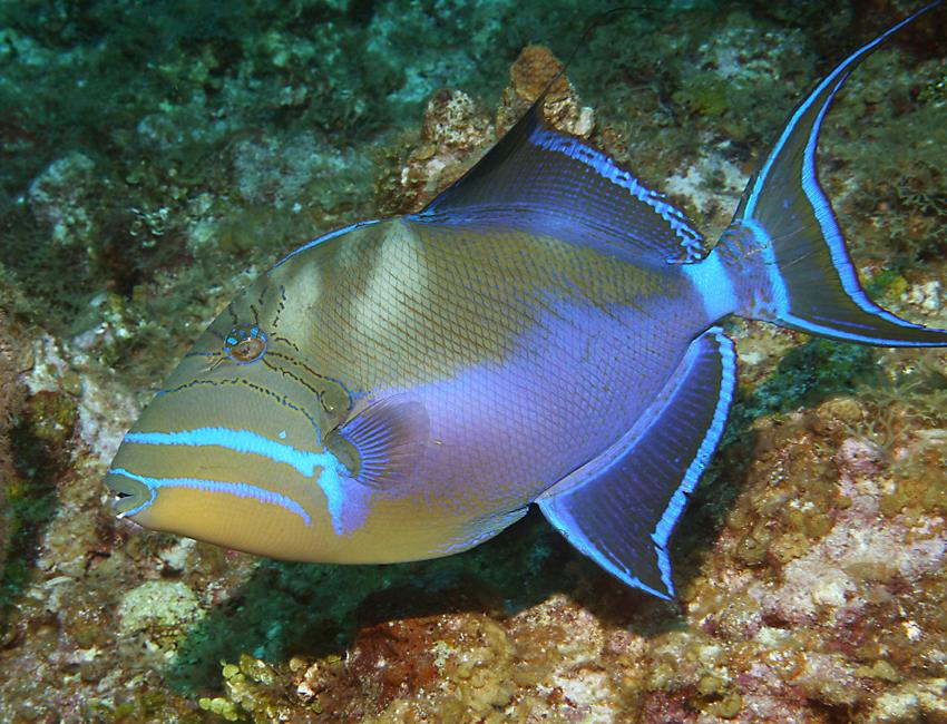 Queen triggerfish for Old wife fish