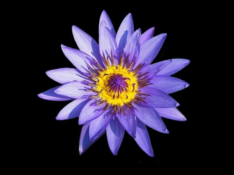 purple lotus flower flower hd wallpapers images