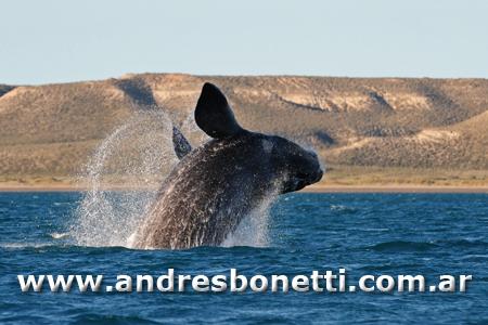 Salto de Ballena Franca Austral - Jump of Southern Right Whale - Península Valdés - Patagonia - Andrés Bonetti