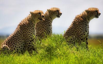 Leopardos salvajes en las planicies buscando comida