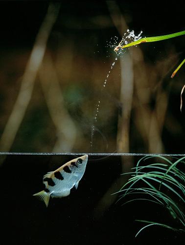 017_+archer_fish.jpg