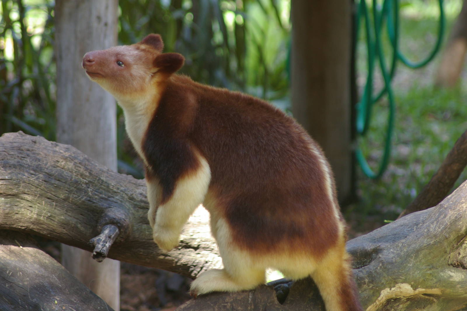 tree kangaroos Tree kangaroos are the marsupial equivalent of monkeys, but only evolved about 5 million years ago, so are not as agile in the trees they have, however, evolved features to help them in their climbing lifestyle – stout, muscular forearms for a stronger grip, long tails for balance and broad feet.