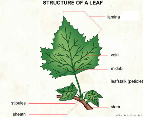 the leaves igcse Plant parts vascular tissue - tube like elongated cells through which food and other materials are transportedlarger plants have special vascular tissues in their stems and leaves that transport materials.