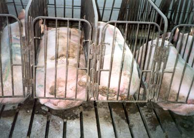 Why gestation crates should be banned in the us this for Indoor shooting range design uk