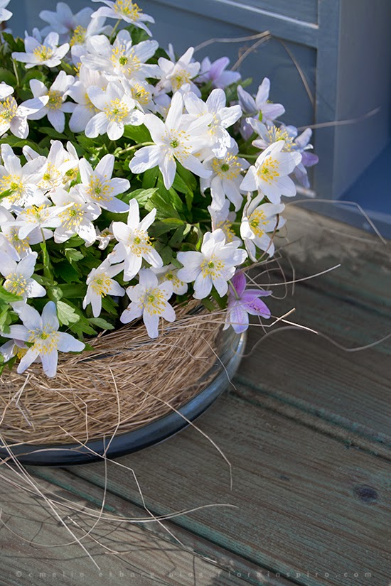 vitsippor, arrangemang vitsippor, hur man gör blomsterarrangemang med vitsippor, blomsterarrangemang vitsippor, wood anemones, how to make a arrangement with wood anemones, how to make a decoration with wood anemones, arrangement wood anemones, decoration wood anemones