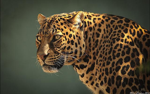 Leopardo Fondos de de Escritorio de Animales Salvajes