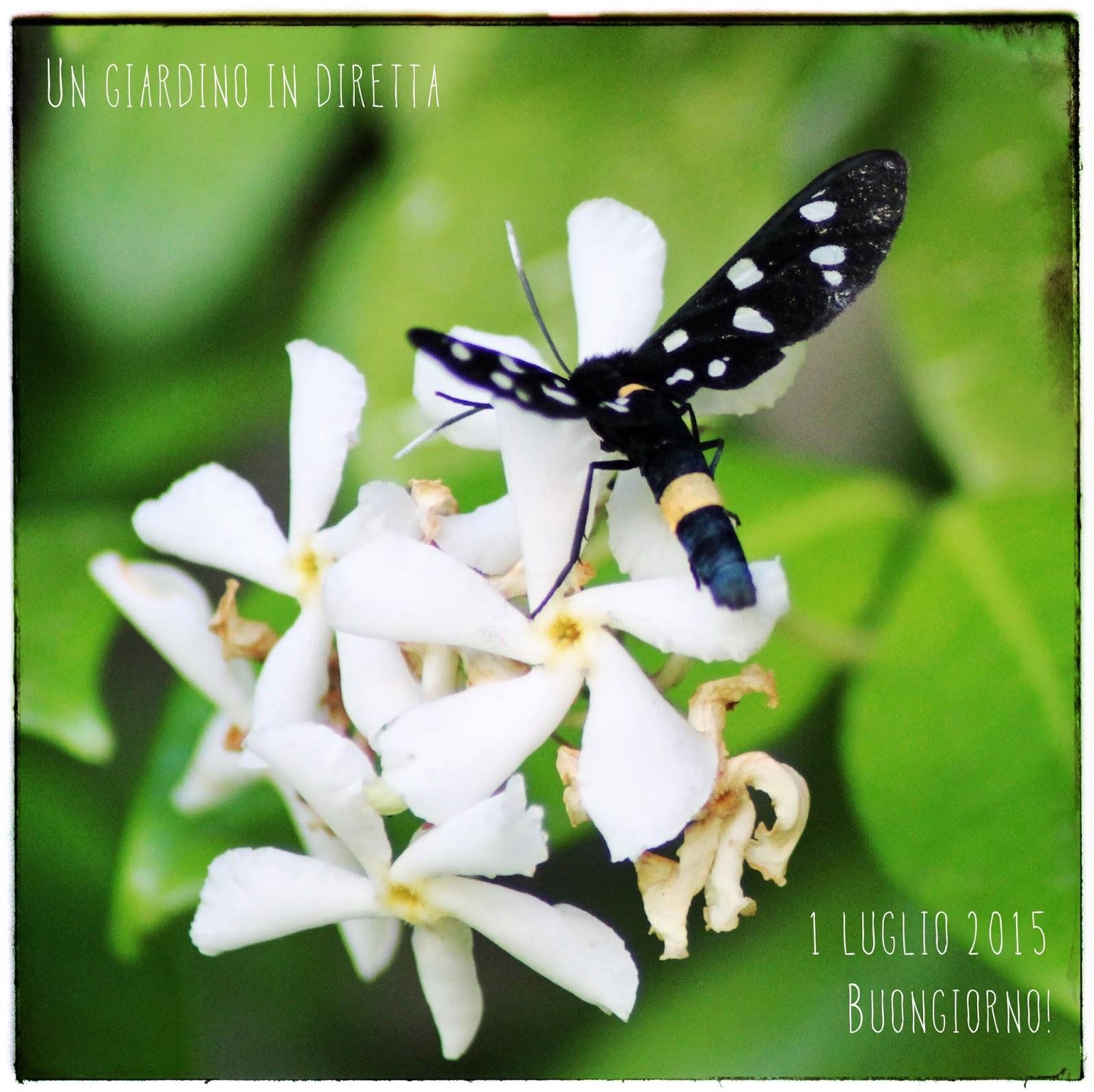 Falso Gelsomino (Trachelospermum Jasminoides)   Un Giardino In Diretta