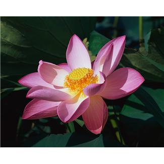 My lotus red an english mirror for kannada poetry my lotus red mightylinksfo