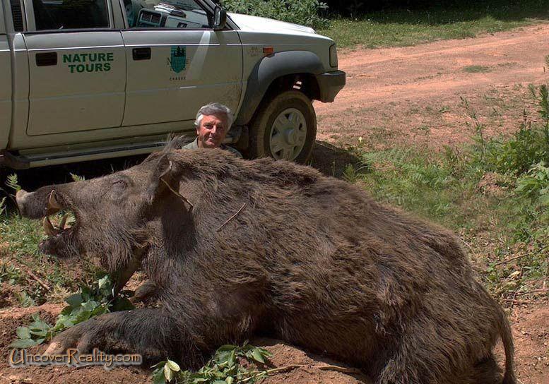 Bebelan Anie Kelate: Babi hutan terbesar di dunia!