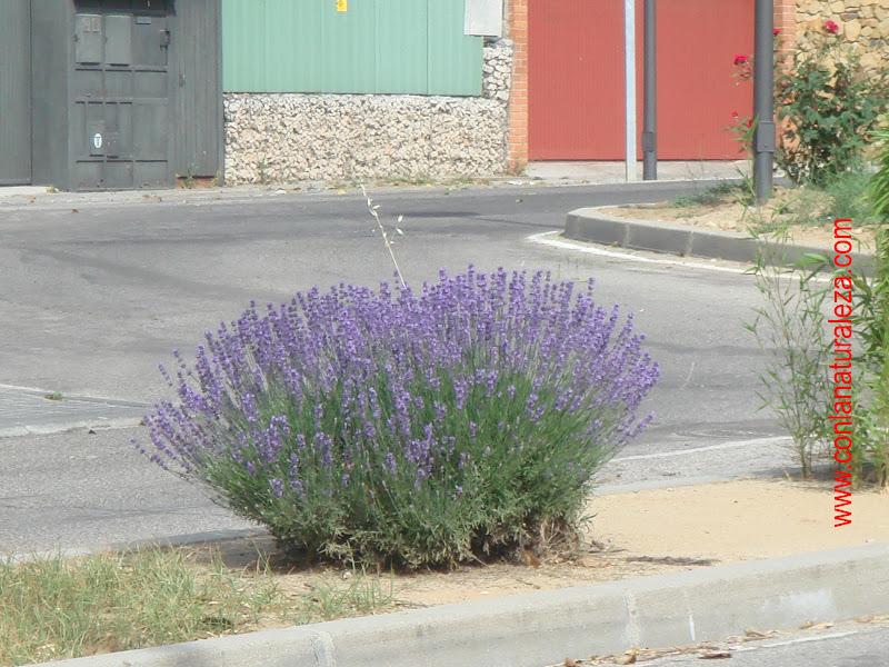 Flora urbana de getafe lavanda - Planta lavanda cuidados ...