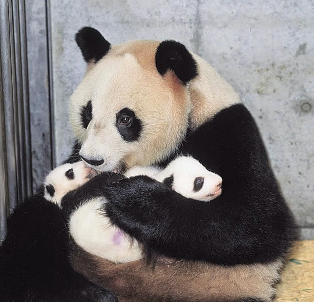 Animal Trivia : Panda\'s tail is white? or black?