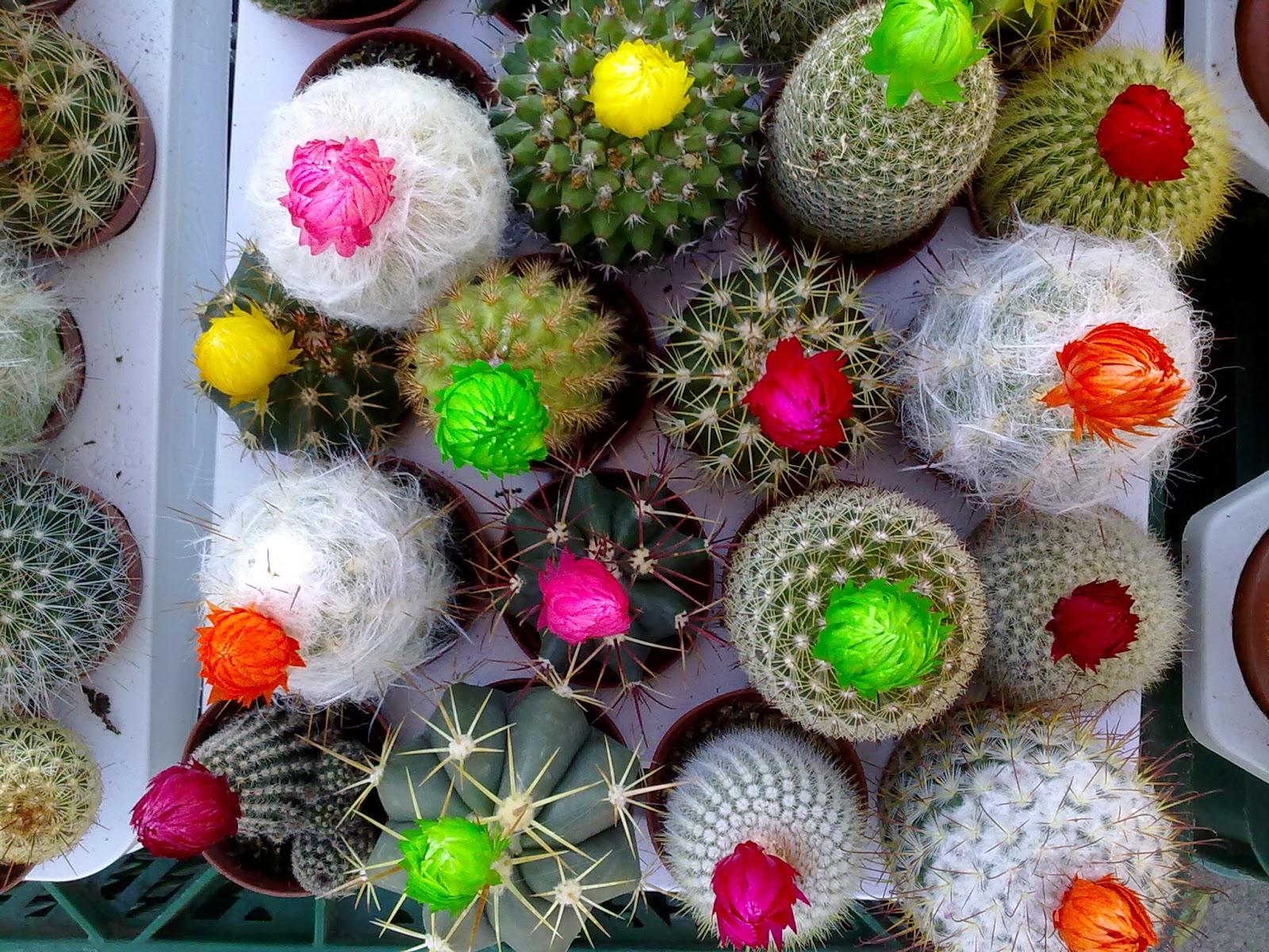 Los cactus entre patios y plantas for Variedades de cactus