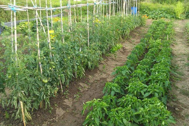 Huerta sostenible dise o de bancales for Plantar pimientos y tomates