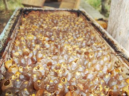 Potes de mel de abelha jatai 2