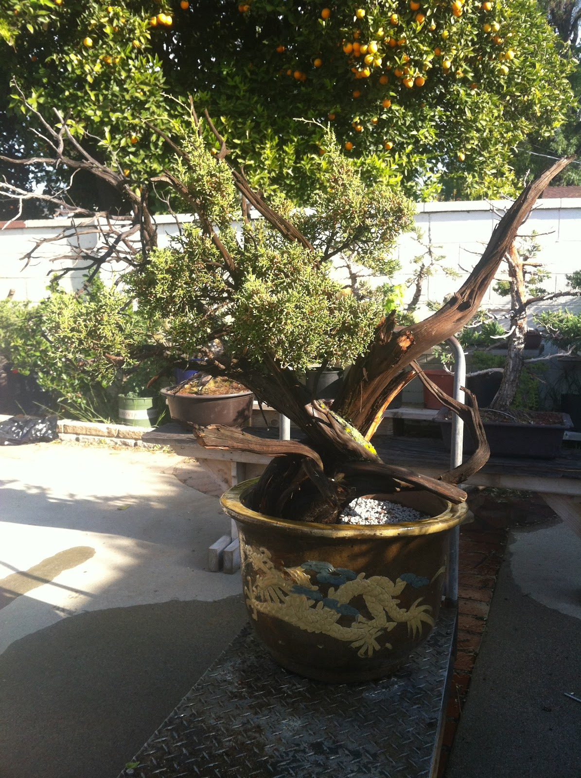 California Juniper Bonsai Dreaming