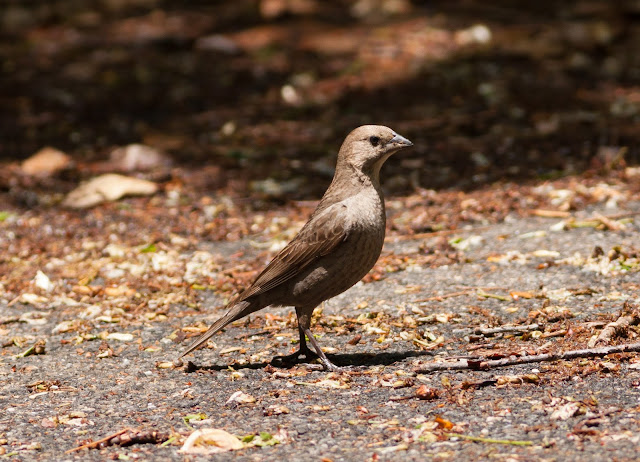 Brown-headed Cowbird - Inwood Hill Park, New York